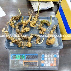 Sâm Ngọc Linh loại 25 củ 1kg - SamHangTuan